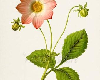 Dahlia Flower Art Print, Botanical Art Print, Flower Wall Art, Flower Print, Floral Print, Pink Flower