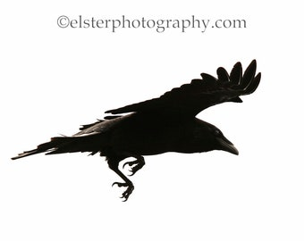 Ravens, corvid, flight, crow, blackbird, note card, raven, mystical, wildlife photography, the birds, feather, greeting card, corvidae