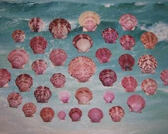 3 Dozen Florida Gulf BEACH Collected Purple, Lavender & Pink CALICO Scallop SEASHELLS #1