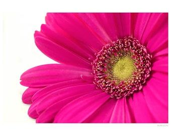 Nature Photography PRINT, Bright Pink Gerbera Daisy - 2, Wall Art