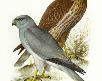 Vintage lithograph of the hen harrier from 1956
