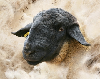 Sheep picture photographic art canvas,  Suffolk ram and wool
