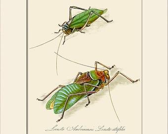 Locusta Amboinensis, India Insect, Edward Donovan, Art Print with Mat, Note Card, Natural History Illustration, Wall Art, Wall Decor