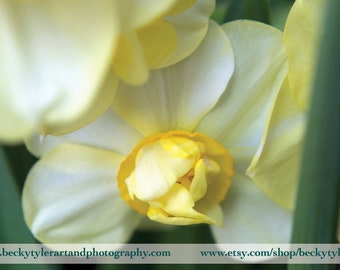 Daffodil Macro Fine Art Photo Print
