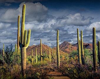 Saguaro Cactuses in Saguaro National Park near Tucson Arizona Panorama No.FS234 Southwest Desert Western Fine Art Landscape Photography