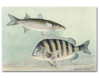 "Antique Fishing Print, 1930s Ocean Wall Art --- ""Striped Mullet & Sheepshead"" No. 90"