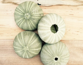 Green Sea Urchin Shell/Test