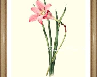 "Botanical Print. Amaryllis Print #1. Pink Flower Print.  8x10"" 11x14"""