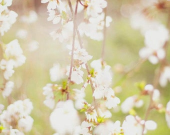 White Cherry Blossoms Photo -  fine art print - New England photography, spring flowers, weeping cherry, country, rustic shabby chic