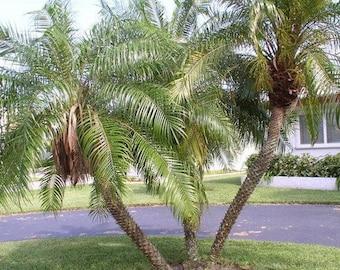 Pygmy Date Palm Seeds (Phoenix Roebelenii) 10+ Tropical Palm Tree Seeds