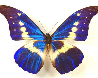 Supplies for your artworks - dried insects - : One beautiful morpho rethenor helena , folded not spread ,UNMOUNTED A1,  FREE SHIPPING