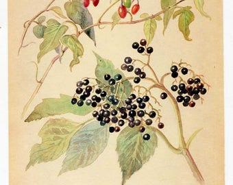 Vintage Nature Scene, Botanical  Bookplate Illustration, Print, Floral Print, Nature Print, Bittersweet and Elderberry Tree Berries