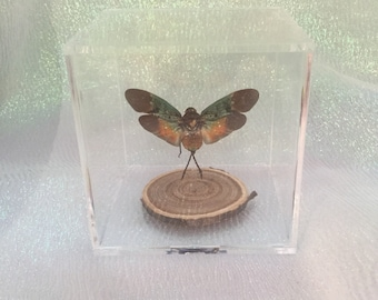 Y106  Taxidermy Entomology Lantern fly Cicada Glass dome Display Specimen insect bug collectible