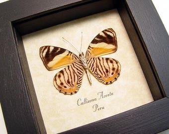 Real Framed Rare Callizona Acesta Wild Zebra Stripes Verso Butterfly 8190