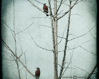 Blue Tree Robin Photograph--Two Bobbin' Robins--TTV Fine Art