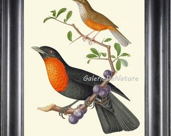 Bird Print D13 Art 4x6 5x7 8x10 11x14 Beautiful Rufous-Bellied Thrush Antique Birds Tree Berries Fruit Nature Home Wall Room Decor to Frame
