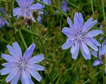 Chicory Flower Seeds/Cichorium Intybus/Perennial    75+