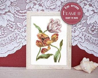 "Vintage illustration of Tulips - framed fine art print, flower art, home decor 8""x10"" ; 11""x14"", FREE SHIPPING - 105"