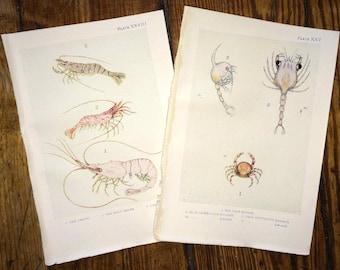 c. 1907 set of two ANTIQUE SEA LIFE lithographs - original antique print - sea life marine beach ocean - shrimp