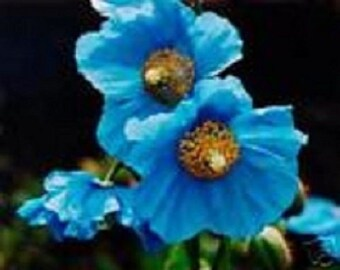 35+ Himilayan Blue Poppy / Perennial Flower Seeds