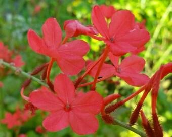 Perennial plants etsy scarlet crimson laurel plumbago semi tropical perennial live plant red flowers attracts hummingbirds starter size 4 inch pot emerald tm mightylinksfo