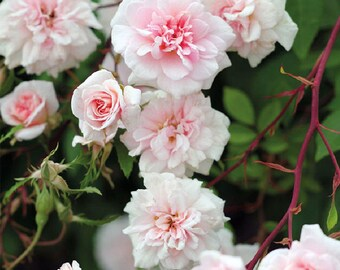 Cecile Brunner Rose Bush Fragrant Pink Climbing Rose Plant Own Root In 5 Inch Deep Root Pot Lush Double Flowers - SPRING SHIPPING