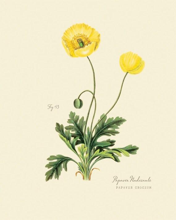 Vintage botanical flower yellow poppy papaver mightylinksfo