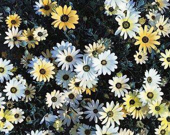 Daisy Seeds African Flower Mix, 25 Seeds