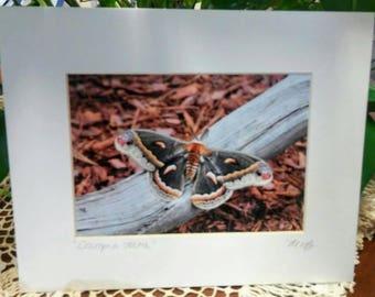 The Cecropia Moth