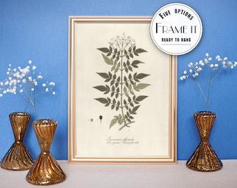 "Vintage illustration of Jasmine  - framed fine art print, botanical art, 8""x10"" ; 11""x14"", FREE SHIPPING - 48"
