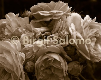 English rose - nostalgic, photo poster, print on canvas, ALU-Dibond direct printing, original digital photography