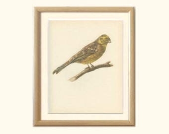 Vintage Bird Print, Yellowhammer Bird Print, 8 x 10, Book Page, DEM/1959/67, Ornithology, Natural History, Frameable Print