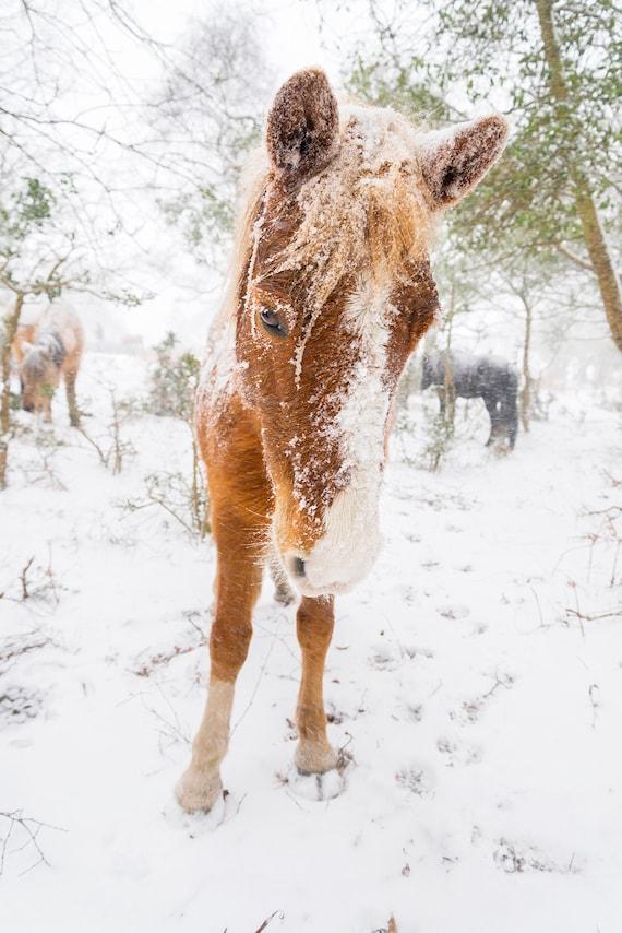 SNOW HORSES 4, Horse Print, Equine Print, New Forest Pony, Animal Print, Dorset Print, Horses in Snow