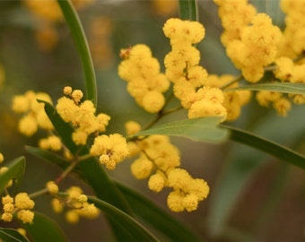 Wattle Photography, Yellow Flower Photo, Nature Print, Spring Wall Art, Wattle, Floral Photo, Apartment Decor, Photo Gifts - 5x7 8x12 10x15