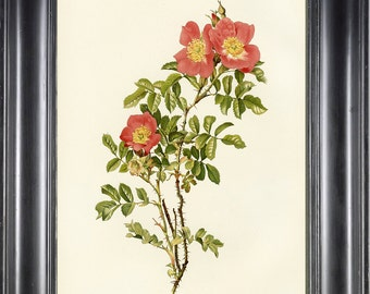 ROSE BOTANICAL PRINT 8x10 Art Print 26 Willmott Beautiful  Red Rose Rosa Soulieana French Country Garden Home Wall Decoration