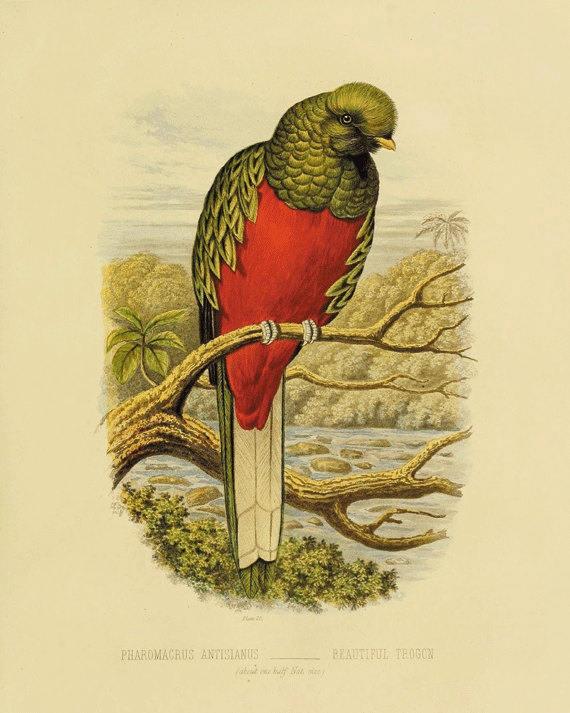 Parrot art print antique Bird Print Nature art print Vintage