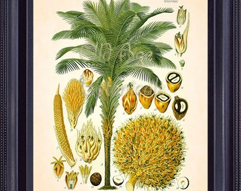 Kohler  Botanical Print Vintage Antique 8x10 Art Plate Chart Tropical American OIL PALM Tree Plant Kitchen Home Decor Mixed Media MT0007