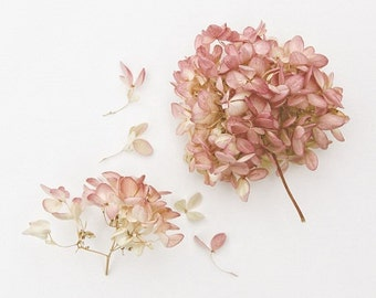 Pink Hydrangea Botanical Rose Pink Minimal Springtime Mothers Day Still Life Nature Photography, Fine Art Print