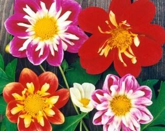 "Dahlia ""Dandy Mix"" Bicolor, cute easy annual flowers"