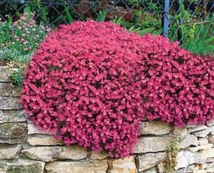 Red rock cressaubrieta seeds cascade red deer resistant zoom mightylinksfo