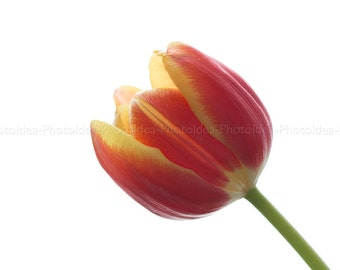 Red and yellow tulip, Wall Flower decor, fine art macro photography, spring, nature, sunlight