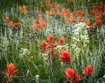 Wildflower photo, indian paintbrush photo, nature photography, flower photo art, meadow flowers print, red flower art, mountain flowers