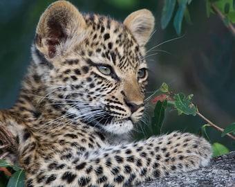Leopard Cub 3 months old in Botswana