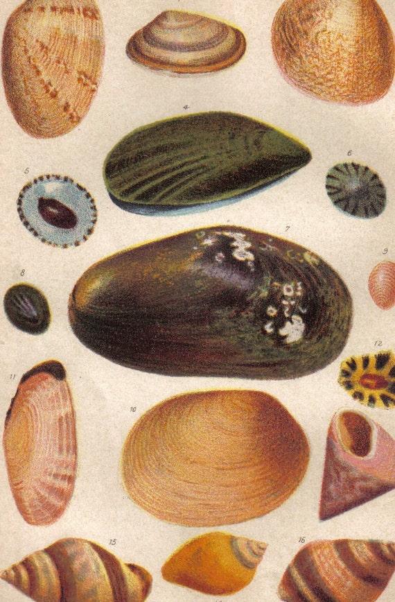 1893 Conchas marinas mejillón comestible Cowry Lapa común