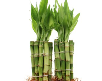 """Bamboo Plants 4"""" Straight Live Lucky Bamboo Stalks Sold in Bundles of 10, 20, 50, or 100"""
