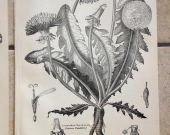 1890 Three Botany Antique Illustrations