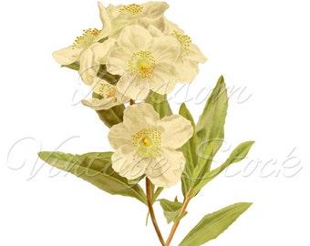 Flower Clipart, PNG White Flowers, Botanical Printable Vintage Illustration for Print, Digital Artwork - INSTANT DOWNLOAD - 1903
