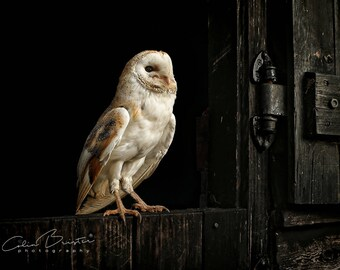 Barn Owl... Print, Canvas or Wall Acrylic...