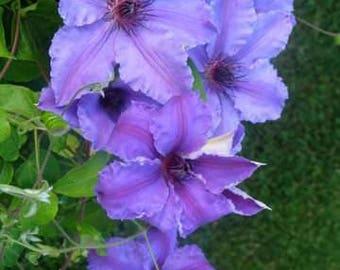 Clematis Ilka ~ Free-flowering (very floriferous)