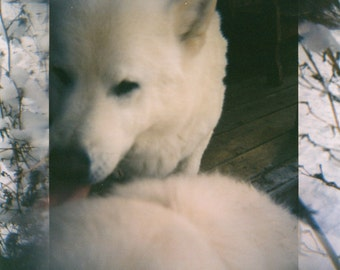 120mm Film Print - Snow Dogs - 2 sizes available
